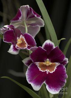 Miltoniopsis, 'rodco' | http://colorfulrosefollowers.blogspot.com