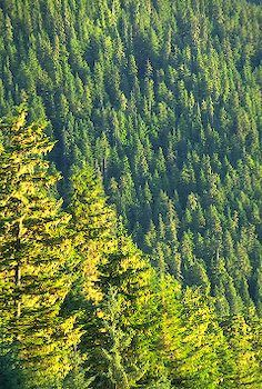 old growth forest, Tongass National Forest, Alaska