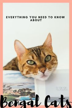Bengal Cats Everything You Need To Think About Before Adopting A
