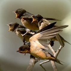 Four Chimney Swallows.                                   (Photo By: jaci XIII.)