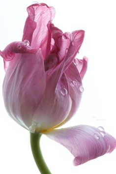 tulip by Julia Gusterina~~ Rare Flowers, Botanical Flowers, Amazing Flowers, Botanical Art, Beautiful Flowers, My Flower, Flower Art, Fotografia Floral, Tulip Painting