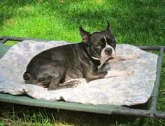 Daisy is an adoptable Boston Terrier Dog in Bloomington, IN. Daisy is a gorgeous Boston Terrier girl who came to The Nest from a local shelter. She was found as a stray. Daisy is initially shy with st...