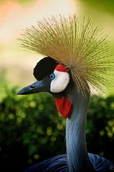 East African Crowned Crane by Christian Meermann, via 500px