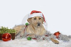 Photo about Dog in Santa hat with Christmas decorations. Image of green, xmas, plant - 17713326 Christmas Cards, Christmas Decorations, Xmas, Santa Hat, Horses, Stock Photos, Christmas E Cards, Xmas Cards, Christmas