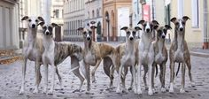 MWD - Multiple Whippet Disorder... One Whippet leads to another and another...
