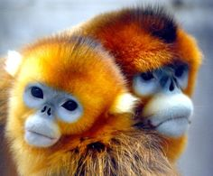 The Golden Snub-nosed monkey. Snub-nosed monkeys live in Asia, with a range covering southern China (especially Tibet, Sichuan, Yunnan, and Guizhou) as well as the northern part of Vietnam. These monkeys get their name from the short, stump of a nose on their round face, with nostrils arranged forward. They have relatively multicolored and long fur, particularly at the shoulders and backs. They grow to a length of 51 to 83 cm with a tail of 55 to 97 cm.