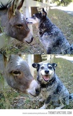 awww :) love my blue heeler..don't think she'd be quite so friendly with a donkey tho haha