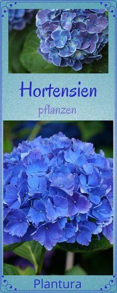 Hortensien pflanzen: So pflegen, schneiden und überwintern Sie Hortensien richtig!