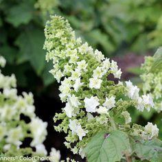 Gatsby Star™ - Oakleaf hydrangea - Hydrangea quercifolia