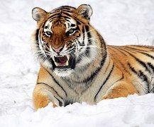 Tigre, Neve, Roncando