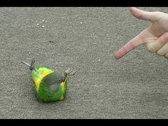 Kili Senegal Parrot - Play Dead and other tricks Crazy Bird, Big Bird, Tropical Birds, Colorful Birds, Senegal Parrot, Diy Bird Toys, Budgies, Cockatiel, Love Your Pet