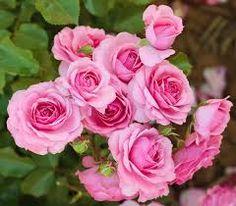Billedresultat for engelsk rose
