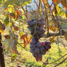 Arrington Winery, Tennessee