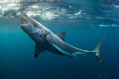 thelovelyseas:     Great white shark  Taken at the Neptune Islands, Spencer Gulf, South Australia by Alastair Pollo…
