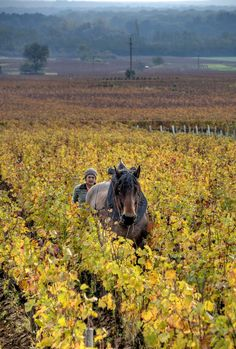 *Vineyard - Burgundy, France