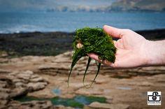 Seaweed harvesting site Spirulina, Seaweed, Harvest, Dandelion, Ireland, Herbs, Flowers, Plants, Dandelions