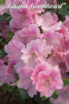 There are 10 late-blooming Encore®️️️ Azaleas that can welcome your family and guests for the holidays. Your region of the country and the specific day-to-day climate however, dictates when blossoms begin and end. One thing is for certain, they are sure t Potato Vine Planters, Potato Vines, Real Flowers, Amazing Flowers, Beautiful Flowers, Azalea Color, Bordado Tipo Chicken Scratch, My Flower, Garden Inspiration