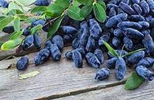 Blue Moon™ Honeyberry for Sale | Fast-Growing-Trees.com