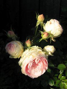 Eden Rose. My absolute favorite!