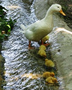 Mother Duck Watching Over Her Ducklings