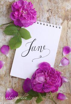 rose di giugno