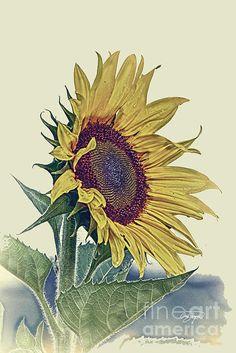Vintage Sunflower Print