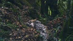 Dua Macan Tutul Jawa Mati Diracun