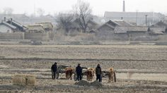 FILE - North Korean farmers lead ox carts as they walk past a field on Hwanggumpyong Island, in the middle of the Yalu River near the town of Sinuiju. Description from voanews.com. I searched for this on bing.com/images