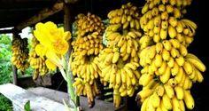 Adiós kilos solo con la banana ¡Que fácil!