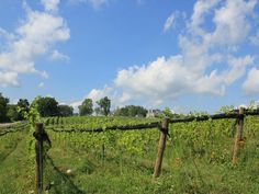 Out in the vineyard, #Summer 2011