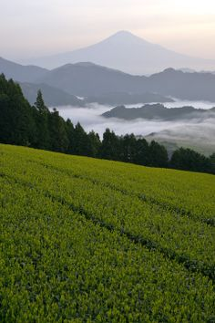 富士山、茶畑/Mt.Fuji and tea plantation