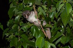 unique dwarf lemur (Cheirogaleus) from Nosy Hara exhibits tameness and dwarfism - characteristic of small island endemics