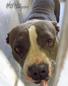 A4805505  I am a very friendly 2 year old gray/white female pit bull mix. . I came to the shelter as a stray on March 4, 2015. I will be available on 3/9/15 NOTE: Bully breeds are not kept as long as others so these dogs are always urgent!!  Baldwin Park shelter https://www.facebook.com/photo.php?fbid=934280796583758&set=pb.100000055391837.-2207520000.1425724193.&type=3&theater