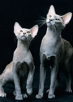 Oriental Shorthair The Most Dog-Like Cat