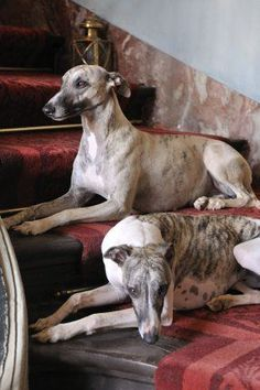 Graceful greyhounds.