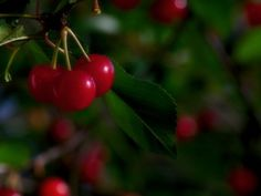 Cherry Tree Problems: What To Do For A Cherry Tree Not Fruiting - Nothing is more frustrating than growing a cherry tree that refuses to bear fruit. Learn more about why cherry tree problems like this happen and what you can do in this article.