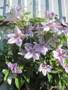 Клематисы. Календарь работ в саду.: Группа Клумбы и цветники