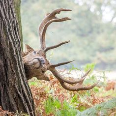 Richard Bromley took this photograph of a Red Deer stag scratching its neck on a tree in Richmond Park London. To celebrate the festive season throughout December we welcome photographs inspired by the 12 Days of Christmas song. If you want your photograph to be considered for the #englandsbigpicture gallery send it to england@bbc.co.uk #england #picoftheday #photosofbritain #ukpotd #capturingbritain #richmondpark #london #deer #reddeer #funnyanimals #deersofinstagram #fridayfeeling