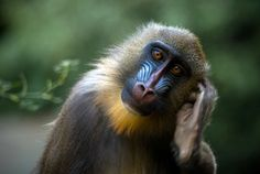 Mandrill by AnaXan