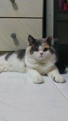 Maya  Cat | Pawshake Singapore