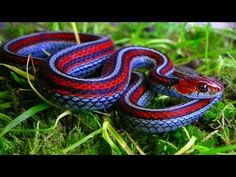 The Most Colorful red and Snake - California Red-Sided Garter Snake