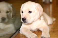 Otto, a Yellow Labrador retriever, is director of paper shredding and being cute at Daily Candy. #officedogs