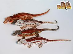 We have high end baby red striped Gargoyle Geckos starting at $350. If you are seriously interested feel free to call us!  #rhacodactylus #auriculatus #gargoylegecko #gargoylegeckos #gargoyle #geckos #gargoylegeckosofinstagram #gargoylesofinstagram #geckosofinstagram #gecko #geckosofig #newcaledoniangecko  #tikisgeckos #lizardsofinstagram #herps #herpsofinstagram #reptiles #reptilesofinstagram #zoology #herpetology #livingart #nature #animals #animallover #reptilelover