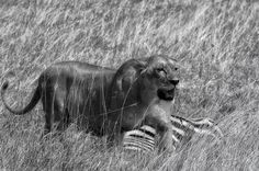 .  Lion with her kill...