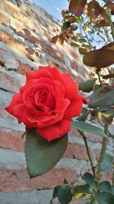 Rosa rojo brillante