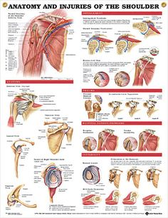 This inch examination-room human anatomy poster shows views of the shoulder anatomy, impingement, rotator cuff tear, trauma and bicipital tendon. Muscle Anatomy, Body Anatomy, Human Anatomy, Shoulder Rehab, Shoulder Surgery, Shoulder Problem, Shoulder Joint, Hand Therapy, Massage Therapy