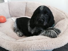 Our Bertie 8 weeks old, blue roan cocker spaniel xx Perro Cocker Spaniel, Show Cocker Spaniel, Blue Roan Cocker Spaniel, Andalusian Horse, Friesian Horse, Arabian Horses, I Love Dogs, Cute Dogs, Puppies And Kitties