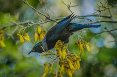 The Tui is native to New Zealand and is a nectar feeder. In the spring it enjoys eating the nectar of the Kowhai Tree. These birds startle easily so they are tricky to capture.