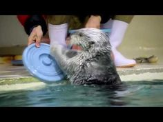 This sea otter is ready to hit the road with any major rock band - he dazzles the crowd at an aquarium in Japan with his amazing drumming skill. Check Out Ou...