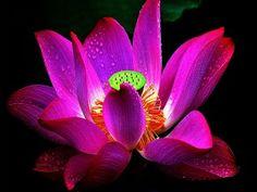 Flor de loto sagrado de color fucsia con gotitas de agua